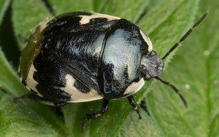 Tritomegas bicolor · baltadėmė urvablakė