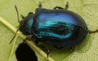 Plagiosterna aenea · žaliasis girinukas 2231