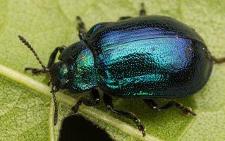 Plagiosterna aenea · žaliasis girinukas 2232