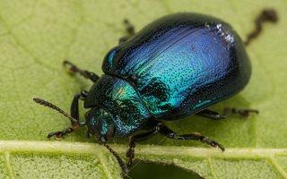 Plagiosterna aenea · žaliasis girinukas 2233