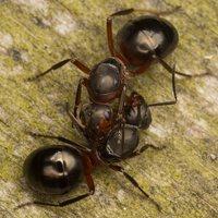 Formicidae · skruzdėlės 2236