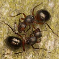 Formicidae · skruzdėlės 2237