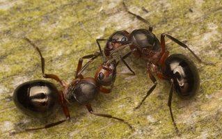 Formicidae · skruzdėlės 2238