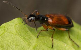 Odacantha melanura · žaliagalvis laibažygis 2240