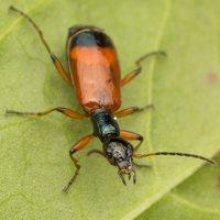Odacantha melanura · žaliagalvis laibažygis 2242