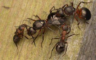 Formicidae · skruzdėlės 2248