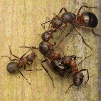 Formicidae · skruzdėlės 2249
