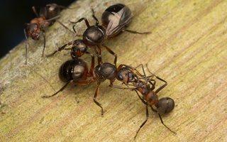 Formicidae · skruzdėlės 2250