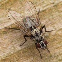 Anthomyia procellaris · žiedenė 2255
