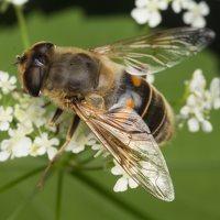 Syrphidae · žiedmusės 2276