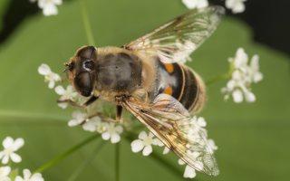 Syrphidae · žiedmusės 2277