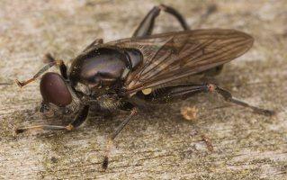 Chalcosyrphus nemorum male · žiedmusė ♂ 2278