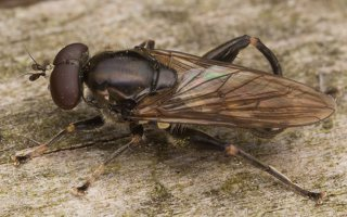Chalcosyrphus nemorum male · žiedmusė ♂ 2279
