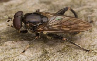 Chalcosyrphus nemorum male · žiedmusė ♂ 2280