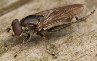 Chalcosyrphus nemorum male · žiedmusė ♂ 2281