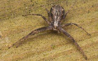 Philodromidae · vikrūnai 2283