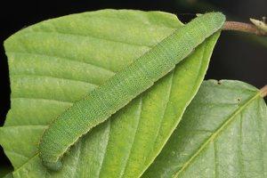 Gonepteryx rhamni caterpillar · citrinukas, vikšras 2297