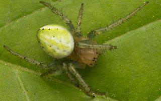 Araniella cucurbitina · raudondėmis voriukas 2301