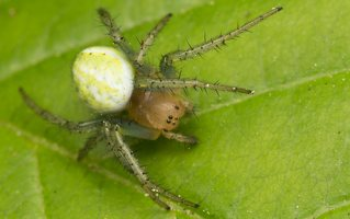 Araniella cucurbitina · raudondėmis voriukas 2302