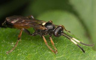 Hymenoptera · plėviasparnis 2306