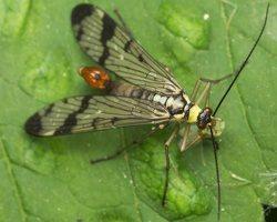 Panorpa communis male · paprastoji skorpionmusė ♂ 2307