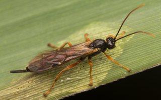 Hymenoptera · plėviasparnis 2333