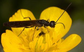 Hymenoptera · plėviasparnis 2343