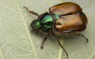 Phyllopertha horticola · grikinukas 2347