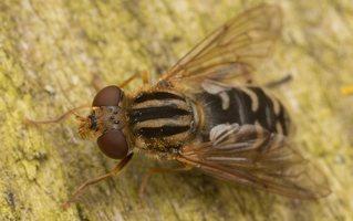 Syrphidae · žiedmusės 2349