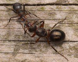 Formicidae · skruzdėlės 2354