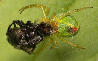 Araniella cucurbitina · raudondėmis voriukas 2366