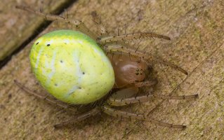 Araniella cucurbitina · raudondėmis voriukas 2377