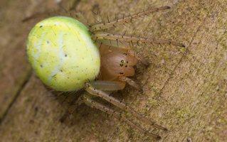 Araniella cucurbitina · raudondėmis voriukas 2378