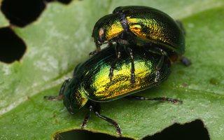 Plagiosterna aenea · žaliasis girinukas 2385