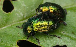 Plagiosterna aenea · žaliasis girinukas 2386
