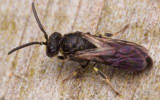 Hymenoptera · plėviasparnis 2392
