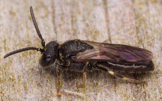 Hymenoptera · plėviasparnis 2393