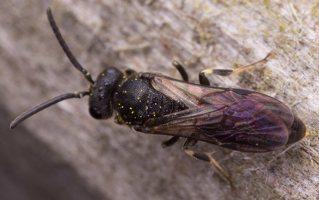Hymenoptera · plėviasparnis 2396