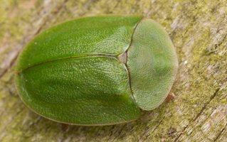 Cassida viridis · žaliasis skydinukas 2398