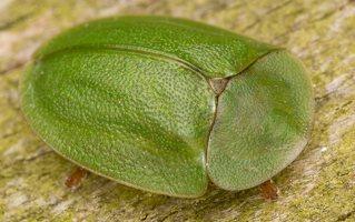 Cassida viridis · žaliasis skydinukas 2399
