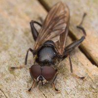 Chalcosyrphus nemorum male · žiedmusė ♂ 2406