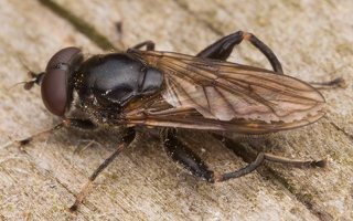 Chalcosyrphus nemorum male · žiedmusė ♂ 2407
