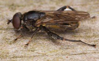 Chalcosyrphus nemorum male · žiedmusė ♂ 2408