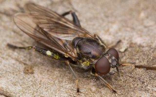 Chalcosyrphus nemorum female · žiedmusė ♀ 2409