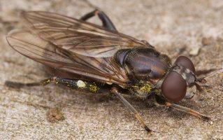 Chalcosyrphus nemorum female · žiedmusė ♀ 2410
