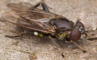 Chalcosyrphus nemorum female · žiedmusė ♀ 411