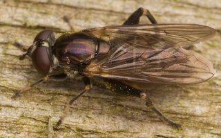 Chalcosyrphus nemorum female · žiedmusė ♀ 2418