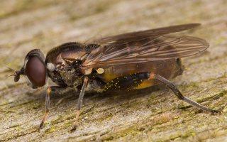 Chalcosyrphus nemorum · žiedmusė 2420