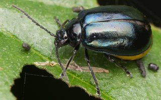 Agelastica alni · mėlynasis alksniagraužis ♀ 2421