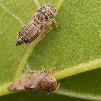 Oncopsis alni · cikadėlė 2422